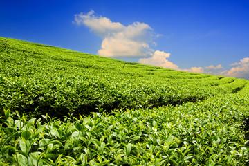 Tea plantation with cloud and blue sky