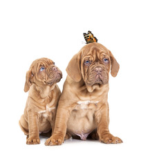 Portrait of French Mastiff pups with butterfly