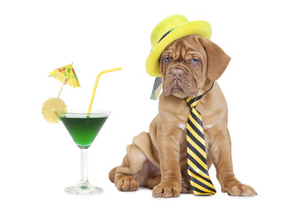 cocktail puppy