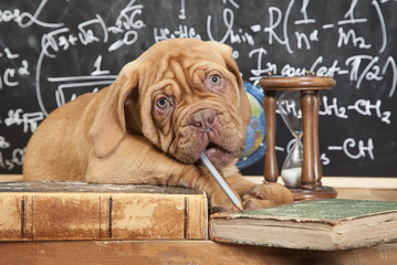 French Mastiff puppy and pile of books