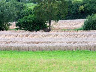 Getreideanbau