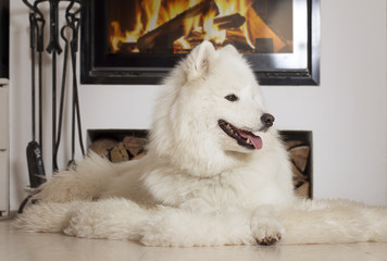 Samoyed dog at home by fireplace
