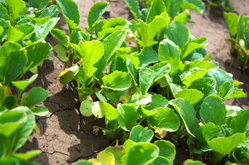 Greens in the garden - radishes young growth