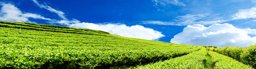 Panorama tea plantation with cloud and blue sky
