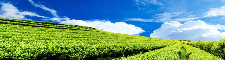 Panorama tea plantation with cloud and blue sky