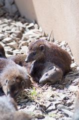 Cusimanse mongoose
