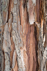 thuja occidentalis bark close up