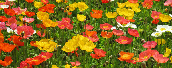 poppy flower field closeup