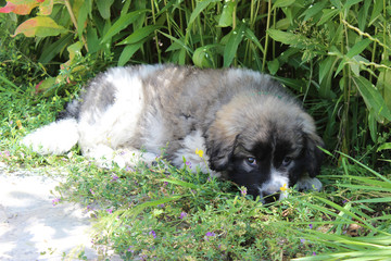 Puppy of  Caucasian shepherd