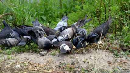 Flock of pigeons feeding in the grass.
