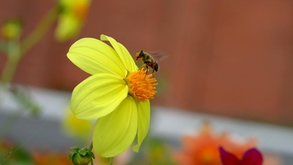 Eristalis arbustorum feeding on Yellow Cosmos Flower.