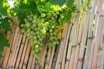 Grapes on canes
