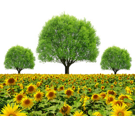 Trees on sunflower field isolated on white background