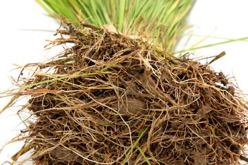 Seedlings of rice crops