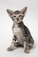 Sweet grey tabby oriental kitten