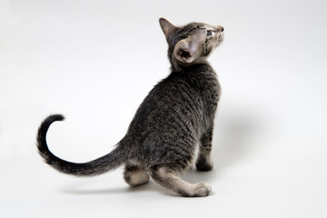 Sweet grey tabby oriental kitten back