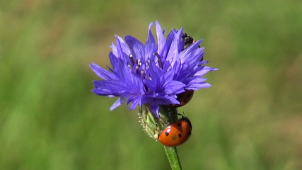 beautiful ladybird ladybugs on blue  cornflower blossom