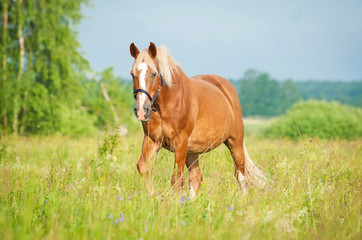 Beautiful horse on summer pasture