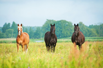 Three beautiful horses standing on the field in summer