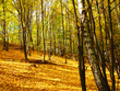 Autumn birches in the forest and yellow leaves
