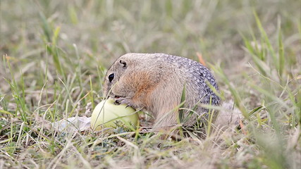 European ground squirrel with an apple