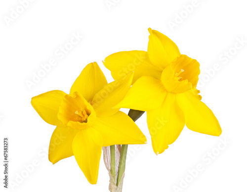 Fototapeten Narzisse Two flowers of a jonquil cultivar isolated on white