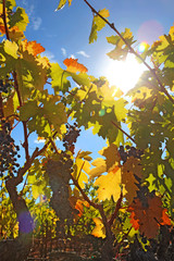 Sun and grape vines with lens flare