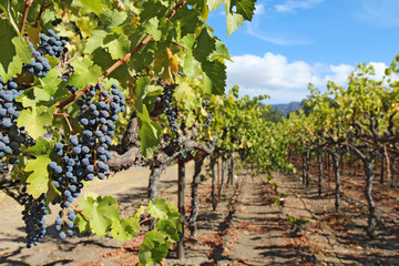 Grapes on the vine in the Napa Valley of California