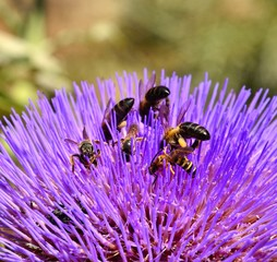 Wasps and bees on splendid artichoke flower