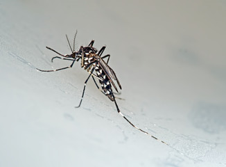 Tiger aka forest mosquito, Aedes albopictus. Macro on grey.