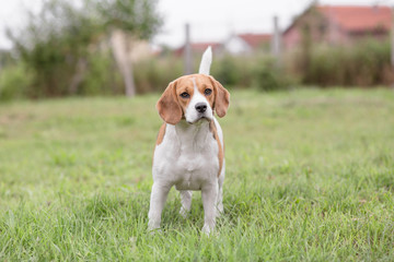 Beautiful Beagle Dog outdoor