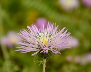 Splendid wild thistle in full bloom