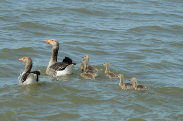 Greylag goose family floating in a pond (Anser anser)