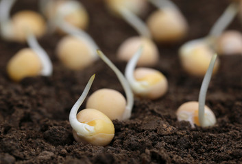 Green pea seedling
