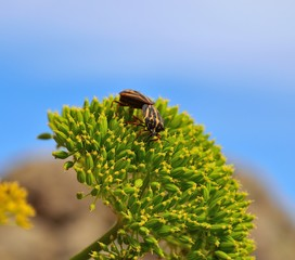 Mating ritual of beetles on green seeds of fennel