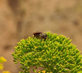 Beetles in mating ritual on green seeds of fennel