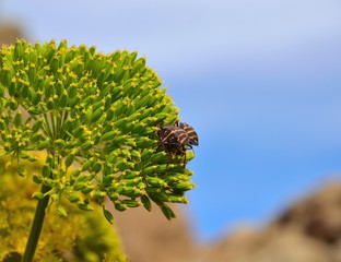 Beetles mating on the green seeds of fennel plant