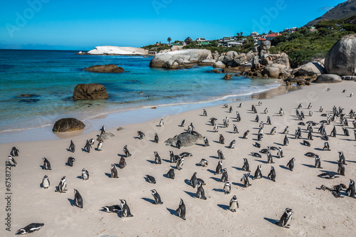 Pinguin in Boulders Beach near Cape Town