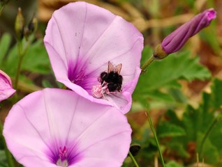 Small pink spider hunting a bumblebee on flowers