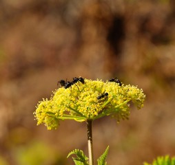 Ants on wild flowers of anise