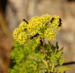 Ants on fennel flowers