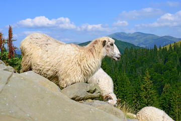 Sheep in mountains