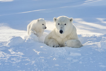 Polar Bear mother with cub coming out freshly opened den
