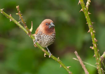 Bird, Scally-breasted Munia (Lonchura punctulata)