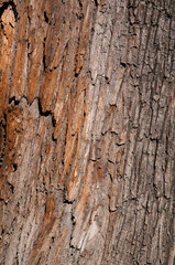 pine bark trunk texture background