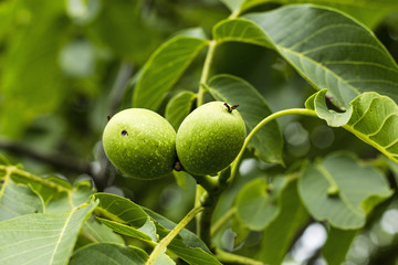 Closeup of green walnut