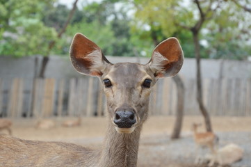young Spotted deer