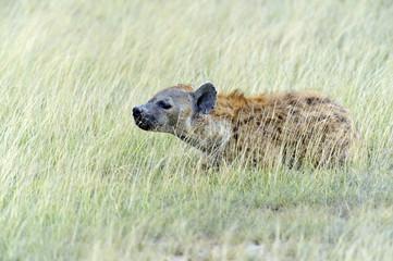 African Hyena