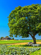 Wallnussbaum im Feld
