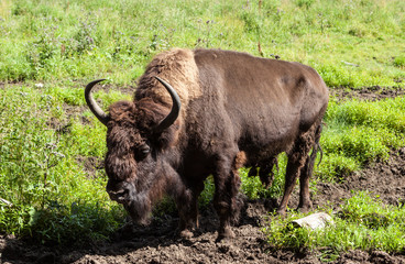 St. Petersburg. Russia. Bisons in Toksovo.